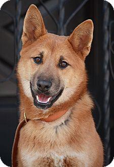 German Shepherd Dog/Shiba Inu Mix Puppy for adoption in Los Angeles, California - Willow von Winola