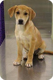 Labrador Retriever Mix Puppy for adoption in West Warwick, Rhode Island - Liza