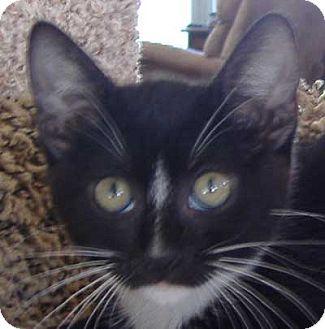 Domestic Mediumhair Kitten for adoption in Antioch, California - Lucy Lu
