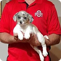 Adopt A Pet :: Louie - South Euclid, OH