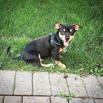 Dachshund/Miniature Pinscher Mix Puppy for adoption in Toronto, Ontario - S'MORES