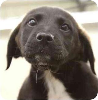 Hound (Unknown Type)/Border Collie Mix Puppy for adoption in Phoenix, Oregon - Koda