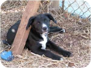Boxer Mix Puppy for adoption in McDonough, Georgia - Lydia