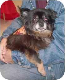 Chihuahua Dog for adoption in Medford, Massachusetts - Sponge Bob