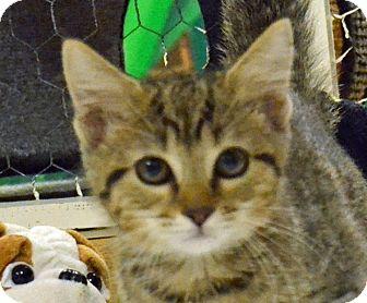 Domestic Shorthair Kitten for adoption in Searcy, Arkansas - Mo