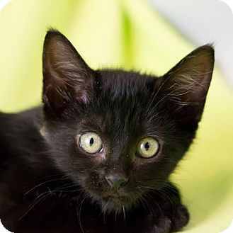 Domestic Shorthair Kitten for adoption in Columbia, Illinois - Martisha