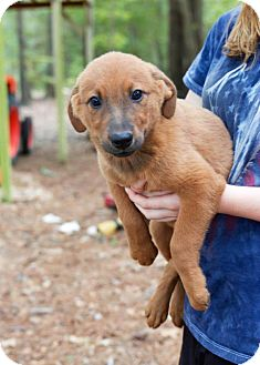 Shepherd (Unknown Type) Mix Puppy for adoption in Kimberton, Pennsylvania - Gale