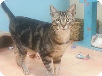 Oriental Cat for adoption in Miami, Florida - Willie