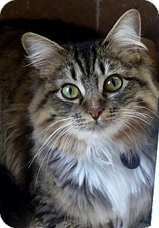 Domestic Longhair Cat for adoption in Novato, California - Lily