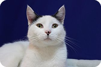 Domestic Shorthair Cat for adoption in Midland, Michigan - Stevie