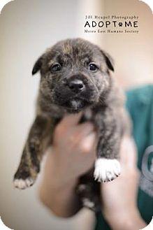Labrador Retriever/Terrier (Unknown Type, Medium) Mix Puppy for adoption in Edwardsville, Illinois - Lucky
