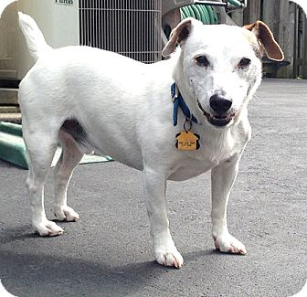 Jack Russell Terrier Mix Dog for adoption in Cincinnati, Ohio - Cosmo