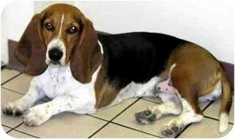 Basset Hound Dog for adoption in Round Rock, Texas - Samantha