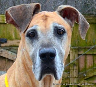 Great Dane Dog for adoption in Bethel, Ohio - Josslyn