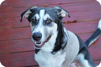 Husky/Labrador Retriever Mix Dog for adoption in Austin, Texas - Briscoe