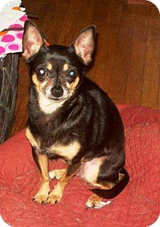 Chihuahua Dog for adoption in Buffalo, New York - Ingrid