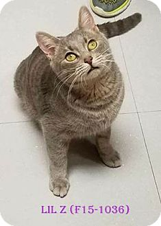 American Shorthair Cat for adoption in Tiffin, Ohio - LIL Z