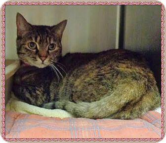 Domestic Shorthair Cat for adoption in Marietta, Georgia - LULA (R)