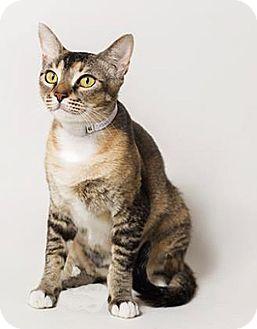 Domestic Shorthair Cat for adoption in N. Billerica, Massachusetts - Spirit