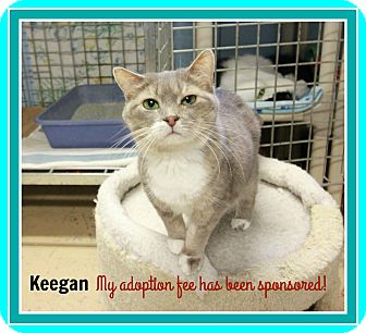Domestic Shorthair Cat for adoption in New Richmond,, Wisconsin - Keegan - Adoption Fee Waived!