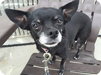 Chihuahua Mix Dog for adoption in Meridian, Idaho - Bambi