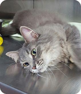 Domestic Mediumhair Cat for adoption in Port Hope, Ontario - Stripes
