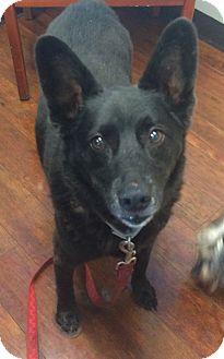 German Shepherd Dog/Chow Chow Mix Dog for adoption in Oak Ridge, New Jersey - Holly