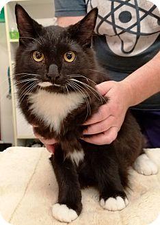 Domestic Shorthair Cat for adoption in Kalamazoo, Michigan - Alaska