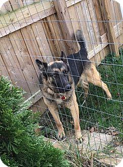 German Shepherd Dog Dog for adoption in Zanesville, Ohio - Gunner