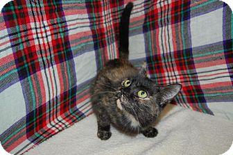 Calico Cat for adoption in South Haven, Michigan - Shaniqua