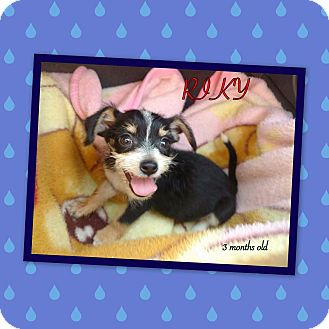 Terrier (Unknown Type, Small)/Chihuahua Mix Puppy for adoption in LAKEWOOD, California - Jamie