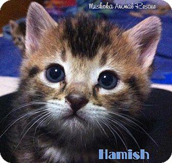 Domestic Shorthair Kitten for adoption in Huntsville, Ontario - Hamish - Loves Humans!