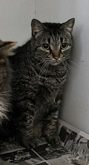 Domestic Shorthair Cat for adoption in Oxford, North Carolina - Lucky
