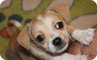 Corgi/Chihuahua Mix Puppy for adoption in Glendale, Arizona - Max