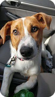 Hound (Unknown Type)/Terrier (Unknown Type, Medium) Mix Dog for adoption in Columbus, Ohio - Walker