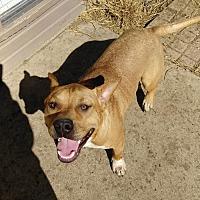 Pit Bull Terrier Mix Dog for adoption in Fulton, Missouri - Mason - Texas