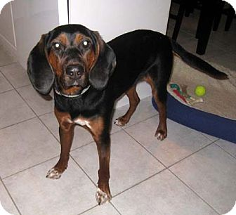 Black and Tan Coonhound/Hound (Unknown Type) Mix Puppy for adoption in Ontario, Ontario - Daisy-ADOPTED!