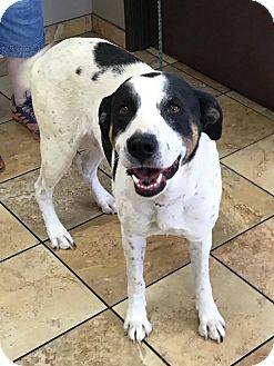 Hound (Unknown Type)/Labrador Retriever Mix Dog for adoption in Las Vegas, Nevada - Bud Bud