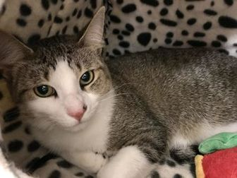Domestic Shorthair/Domestic Shorthair Mix Cat for adoption in Romeoville, Illinois - Lasalle