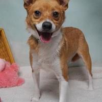 Terrier (Unknown Type, Small) Mix Dog for adoption in Lebanon, Tennessee - Patriot (D17-115)