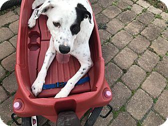 Pointer/Dalmatian Mix Dog for adoption in Virginia Beach, Virginia - Dolly