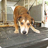 Beagle Mix Dog for adoption in Newnan City, Georgia - Boz