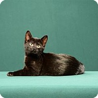 Adopt A Pet :: Mary Tyler Moore (Kitten) - Cary, NC