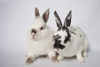 Lionhead Mix for adoption in Los Angeles, California - Snoopy & Woodstock