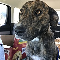 Plott Hound/Labrador Retriever Mix Dog for adoption in Southbury, Connecticut - Jenelle