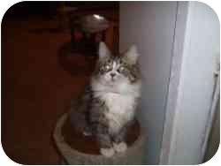 Maine Coon Cat for adoption in Hamburg, New York - Bobbi
