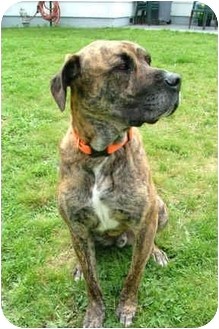 Great Dane/Boxer Mix Dog for adoption in Portland, Oregon - Ozzy