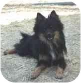 Schipperke/Pomeranian Mix Dog for adoption in Pie Town, New Mexico - CONRAD