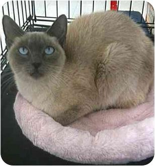 Siamese Cat for adoption in Sugar Land, Texas - Samantha