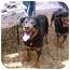 Photo 2 - Rottweiler Dog for adoption in Austin, Texas - Maverick